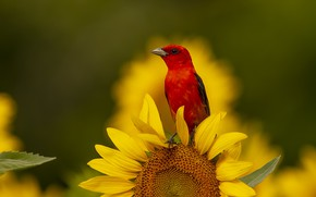 Picture summer, sunflowers, flowers, bird, red, bright