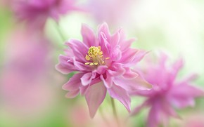 Picture flowers, background, blur, pink, the catchment, Aquilegia