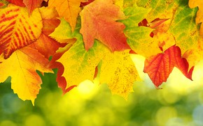Picture autumn, background, leaves, autumn, leaves, colorful, maple, background, autumn, maple