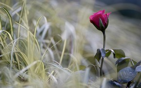 Picture flower, grass, macro, nature, rose