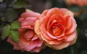 Picture macro, orange, roses