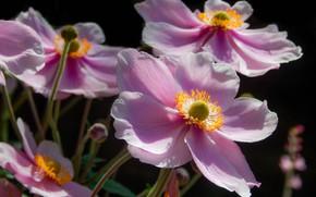Picture macro, petals, pink, Anemones