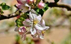 Picture macro, branch, Apple, flowering
