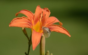 Picture flower, nature, butterfly, daylilies