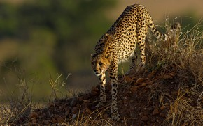 Picture nature, the dark background, stones, hill, Cheetah, sneaks, mound