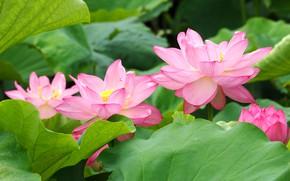 Picture leaves, flowers, petals, Lotus, green, pink, Lotus