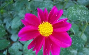 Picture flower, Rosa, Dahlia, bright, Meduzanol ©