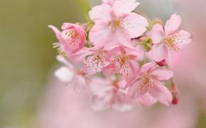 Picture macro, cherry, background, spring, Sakura, flowering, flowers, bokeh
