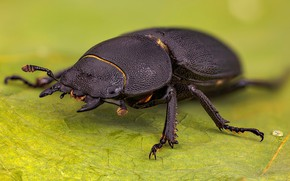 Picture nature, insect, Dorcus parallelipipedus