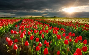 Picture field, the sun, rays, landscape, sunset, flowers, clouds, nature, spring, the evening, tulips, Holland