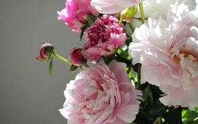 Picture flowers, buds, peony, bouquet of peonies