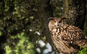Picture forest, look, nature, tree, owl, bird, owl