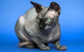 Picture cat, cat, grey, blue background, green eyes, Sphinx