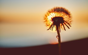 Picture Sunset, The sun, Dandelion, Flower, Plant, Dawn, Flower, Flora, Close-up, Blooming, Bloom, Flora, Plant, Negative ...