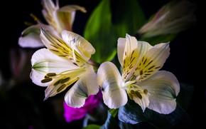 Picture flowers, the dark background, bouquet, white, bokeh, Alstroemeria
