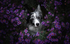 Picture flowers, nature, portrait, dog, a lot, lilac, the border collie, lilac background