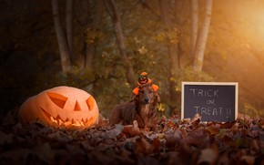 Wallpaper autumn, look, leaves, light, trees, Park, letters, holiday, the inscription, foliage, dog, hat, pumpkin, Board, ...