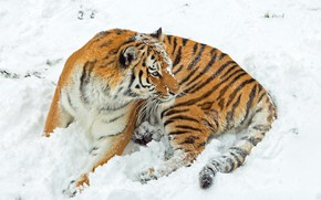 Picture winter, look, snow, tiger, pose, the snow, lies