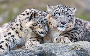 Picture look, cats, stone, tenderness, friendship, weasel, snow leopard, wild cats, Duo, relationship, zoo, Barca