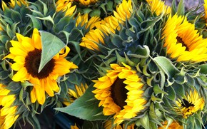 Picture macro, sunflowers, flowers, bouquet, yellow, petals, a lot, sunflower