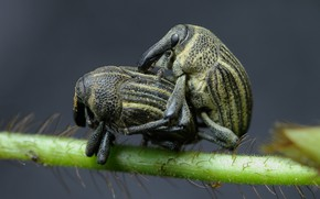 Picture macro, insects, plant, beetle, stem, pair, bugs, grey background, a couple, two, striped, sex, pairing, …