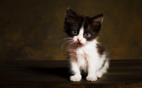 Picture cat, look, pose, the dark background, kitty, black and white, muzzle, sitting, Studio