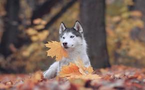 Picture autumn, leaves, nature, animal, dog, maple, husky, dog, Maria Anapolsky
