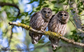 Picture leaves, birds, branches, owl, two, pair, owls, a couple, Duo, bokeh, owl, two owls