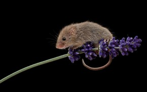 Picture flowers, sprig, mouse, mouse, black background, lavender, field