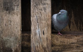 Picture nature, bird, dove