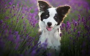 Picture language, look, flowers, nature, smile, mood, black and white, portrait, dog, positive, puppy, face, lavender, …