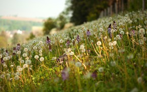 Picture greens, forest, summer, light, flowers, nature, glade, slope, hill, meadow, dandelions, field, a lot