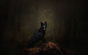Picture forest, language, trees, branches, pose, darkness, the dark background, thickets, dog, black, snag, walk, is, …