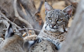 Picture cub, kitty, lynx, wild cat, a small lynx