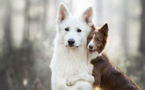 Picture dogs, pose, background, two, puppy, Duo, friends, bokeh, two dogs, the border collie, Swiss shepherd …