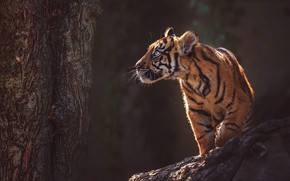 Wallpaper look, face, light, nature, tiger, pose, the dark background, kitty, tree, stone, paws, trunk, bark, ...