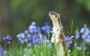 Picture summer, grass, flowers, nature, background, muzzle, stand, bokeh, marten