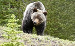 Picture nature, animal, predator, bear