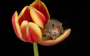 Picture flower, Tulip, mouse