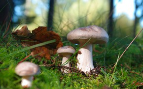 Picture autumn, forest, grass, light, nature, glade, mushrooms, mushroom, leaf, moss, mushrooms, bokeh, oak