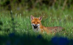 Picture greens, summer, grass, look, flowers, nature, glade, meadow, Fox, red, blue, Fox, Fox, Fox, teen