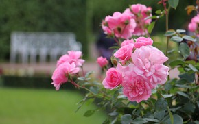 Picture summer, Park, roses