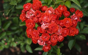 Picture heart, Bush, roses, red