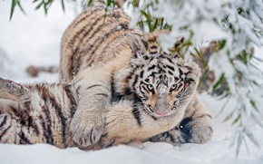 Picture winter, white, look, leaves, snow, branches, nature, tiger, pose, in the snow, the game, fight, …
