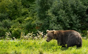 Picture forest, grass, flowers, glade, bear, walk, brown