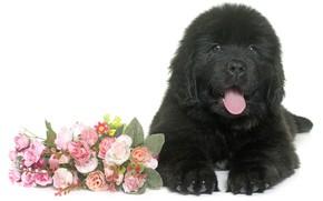 Picture flowers, black, fluffy, puppy, lies, Newfoundland