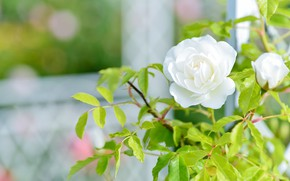 Picture flower, leaves, mesh, rose, garden, Bud, window, white, light background, bokeh, rose Bush
