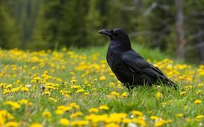 Picture flowers, bird, Raven, oduvan