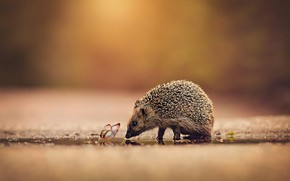 Picture road, water, background, butterfly, insect, animal, hedgehog, walk, hedgehog, hedgehog, hedgehog