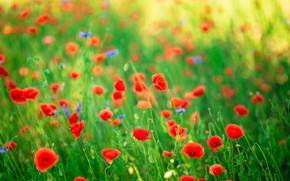 Picture greens, summer, background, glade, bright, Mac, Maki, meadow, red, a lot, bokeh, blurred, poppy field
